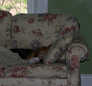 A Beagle sleeping on a couch