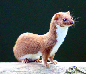 A weasel on a log