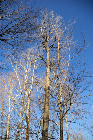 Naked winter trees against a bright blue sky.